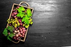 Neue Ernte von roten und grünen Trauben auf Behälter Stockfotografie