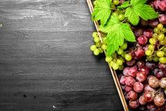 Neue Ernte von roten und grünen Trauben auf Behälter Lizenzfreie Stockfotos