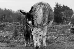 Neue Esel Mama und Baby des Wald zwei schwärzen Stockfotografie