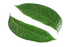 Neue Farben von grünen Blättern Stockbild