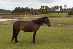 Neue Forest Wild Pony-Aufstellung Stockfoto