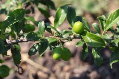 Neue Früchte sind nicht auf einer Niederlassungsnahaufnahme auf dem Hintergrund des Gartens reif lizenzfreie stockbilder
