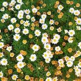 Neue Gänseblümchenblume blüht und verwelkte Gänseblümchenblüten Stockfoto