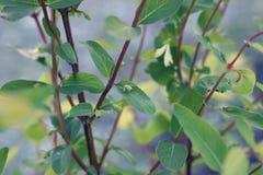 Neue Geißblattniederlassungen mit grünen Blättern und Fruchtnahaufnahme lizenzfreie stockfotos