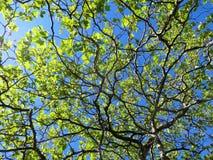 Neue Grünblätter und -niederlassungen mit blauem Himmel Lizenzfreies Stockfoto