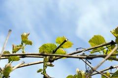 Neue grüne Blätter von Trauben Stockfotos