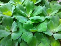 Neue grüne Fischeier stockfoto