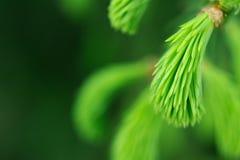 Neue grüne Nadeln des gezierten Baums stockbild