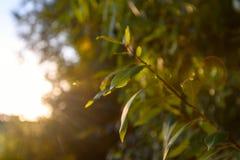 Neue grüne Niederlassung mit Blättern in der Sonne mit grellem Glanz neues Leben, Ökologie, Naturwiederbelebung stockbild