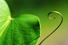 Neue grüne Rebe der Kurve Lizenzfreies Stockfoto