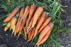 Neue Karottenernte auf dem Bodenhintergrund, selektiver Fokus Stockfotos