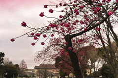 Neue Kirschblüte im Vorfrühling, Tokyo, Japan stockbilder