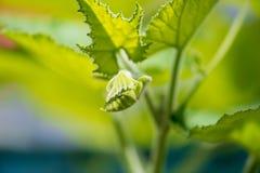 Neue Knospe, Blume, Blätter und mehr der Luffaanlage in der Natur mit kleinen Insekten stockfoto