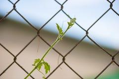 Neue Knospe, Blume, Blätter und mehr der Luffaanlage in der Natur mit kleinen Insekten zerteilen 10 stockfotografie