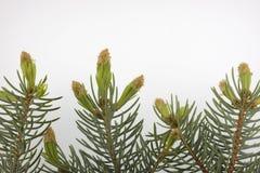 Neue Knospen des silbernen blauen gezierten Baums stockfotos
