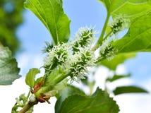 Neue Maulbeere auf Maulbeerniederlassung Lizenzfreies Stockbild