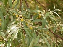 Neue Oliven Stockbild