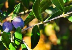 Neue Oliven auf den Niederlassungen des Baums ungefähr zu reifen lizenzfreie stockbilder
