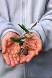 Neue Oliven auf Zweig. Lizenzfreie Stockfotografie