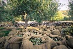 Neue Oliven, die von den Landwirten auf einem Gebiet von Olivenbäumen für reine Extraolivenölproduktion ernten Stockfoto