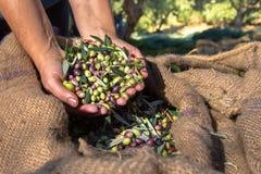 Neue Oliven, die von den Landwirten auf einem Gebiet von Olivenbäumen für reine Extraolivenölproduktion ernten Stockbild