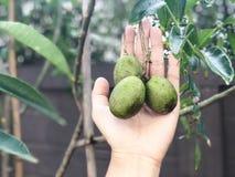 Neue Oliven an Hand stockbilder