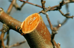 Neue prunned Apfelniederlassung Lizenzfreies Stockfoto