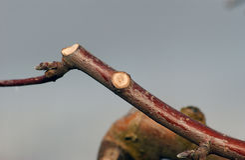 Neue prunned Apfelniederlassung Stockbild