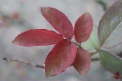Neue Rosenblätter lizenzfreies stockbild