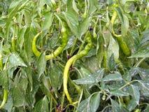 Neue süße Bilder des grünen Paprikas des Frühstücks Stockfoto