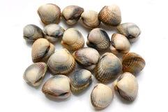 Neue Shells, cerastoderma edule Lizenzfreie Stockfotos