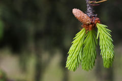 Neue Tannenbaumnadeln und kleiner Kegel Lizenzfreie Stockfotos