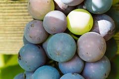 Neue und reife Bündel der roten Weinreben, die im Garten wachsen Lizenzfreies Stockfoto