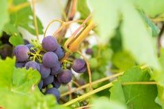Neue und reife Bündel der roten Weinreben, die im Garten wachsen clo Lizenzfreie Stockfotografie