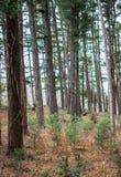 Neue Wachstumskiefern in einem Wald lizenzfreie stockbilder