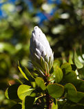 Neue weiße Proteablüte auf einer Niederlassung Lizenzfreies Stockfoto