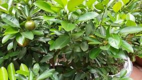 Am neuen Mondjahr kaufen die meisten vietnamesischen Familien einen Baum der japanischen Orange stock video