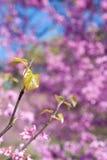 Neuer Blatt-Sprössling unter rosa Blüten auf Ost-Redbud-Baum Stockbild