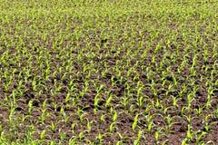 Neuer Feld-Mais lizenzfreies stockbild
