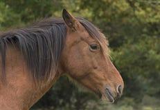 Neuer Forest Pony Stockfoto