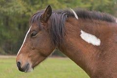 Neuer Forest Pony Stockfotografie
