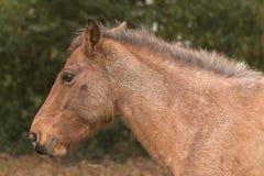 Neuer Forest Pony Stockbild