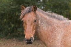 Neuer Forest Pony Lizenzfreies Stockbild