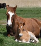 Neuer Forest Pony And Foal Sitting Down lizenzfreie stockfotos