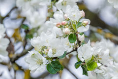 Neuer Frühlings-Saison-Apfelbaumast in voller Blüte mit den rosa und weißen Blumen Lizenzfreie Stockfotos