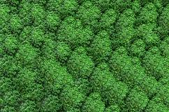 Neuer grüner Brokkolihintergrund Lizenzfreies Stockfoto