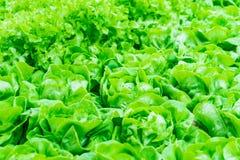 Neuer grüner Kopfsalathintergrund Stockbild