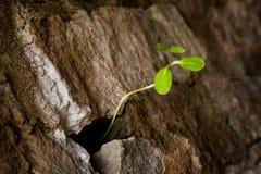 Neuer grüner Stamm, der in der Steinwand wächst Stockfotos