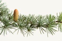 Neuer grüner Zweig eines Tannenbaums mit Kegel Stockbild