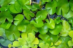 Neuer hellgrüner Seerose- und Wasserkopfsalatblattwachsender Überwasserhintergrund im tropischen Garten Stockbild